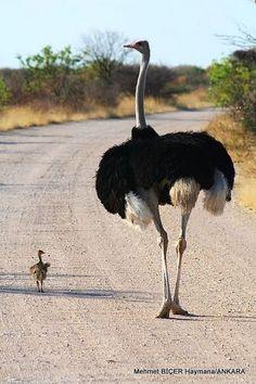 Deve Kuşu ve Yavrusu