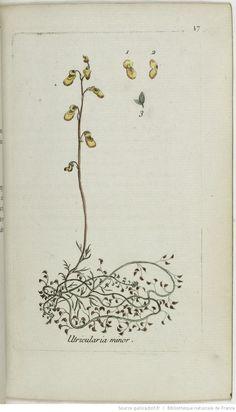 UTRICULARIA - Utricularia minor. La petite utriculaire