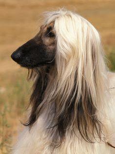 Afghan Hound