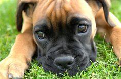 Boxer, cachorro, boxer, olhos pequenos, olhares, nariz, patas, grama, reflexão, fotógrafo