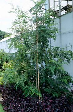 Find help & information on Grevillea robusta silky oak from the RHS Geo, Outdoor Gardens, Garden Ideas, Australia, Plants, Landscaping Ideas, Plant, Backyard Ideas, Planets