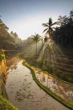 Sun beams through the palm trees at the rice fields Asian Games, Ubud, Palm Trees, Sunrise, Surfing, Scenery, Country Roads, Island, Vacation
