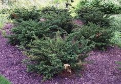 Everlow_Yew, Full sun to part shade, Height: 1-2 ft Spread: 3-4 ft