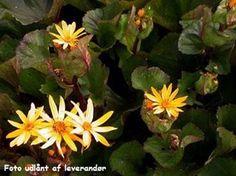 Ligularia dentata 'Othello' - Nøkketunge