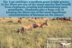 It's #EleFunFactFriday! Elephants help the topi antelope in the Mara by helping to maintain the open grasslands!
