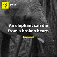 Elephant Broken Heart