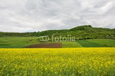 Beautiful landscape of a yellow field rapeseed in bloom and green hills under a cloudy sky Yellow Fields, Yellow Flowers, Beautiful Landscapes, Vineyard, Golf Courses, Bloom, Sky, Green, Outdoor