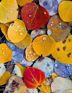 Aspen Leaf Detail