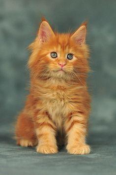 Maine Coon kitty 6 weeks