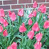 In the Pink  Coral pink 'Toronto' tulips bloom in midspring on sturdy 14-inch-tall branched stems that bear up to five flowers each. The blooms of this Greigii species tulip are a contrasting red-orange on the inside. Leaves with maroon splotches complete the colorful combo.