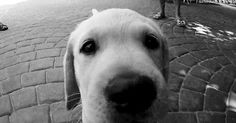 The Week: Labradors are the U.S.'s favorite dog for the 24th...