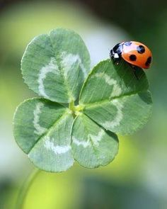 ladybug brings good luck!