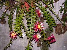 Como cultivar o cacto sianinha Succulent Terrarium, Planting Succulents, Cactus, Baby Shower Desserts, Themed Outfits, Casino Theme Parties, Table Cards, Shop Signs, Air Plants