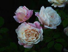 'Gruss an Aachen' rose