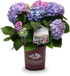 La Dreamin Hydrangea Shows Pink Blue Purple All On The Same