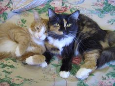 "From Mary: ""Twinkie and Blaze, when they were about 1 year old. They are both incredibly sweet and affectionate. Twinkie starts purring before we even pet him, and neither of them can get enough petting."" Send us your photos of long haired cats in March. Please put ""Long hair cat"" in the subject line - send to catfaeries@catfaeries.com. www.catfaeries.com - Products for good behavior & health for the modern housecat."