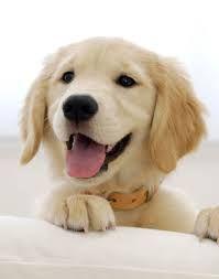 201 Best Gorgeous Golden Retrievers Images Dogs Golden Retrievers