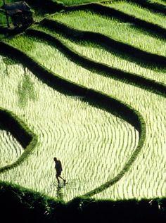 Rice Paddy Terraces Wallpaper Indonesia World Wallpapers) – Funny Pictures Crazy Komodo Island, Gili Island, Bali Lombok, Vanuatu, Winter Sun Holidays, Sunshine Holidays, Rice Paddy, Best Meditation, Rice Terraces