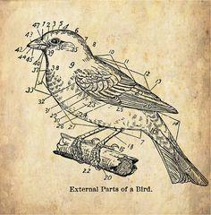 "Antique Woodland Print ""External Parts of a Bird"" Sepia Natural History Illustration - Bird Feathers"
