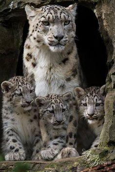 Snow leopard family pic.twitter.com/I3DlprSt4U