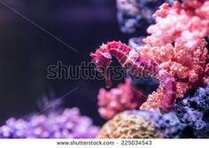 A orange seahorse in a colorful aquarium
