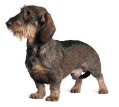 Fritzkrieg.. one of the four dachshunds of the apocalypse...