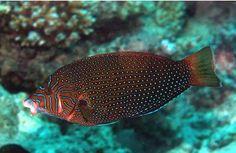 Anampses_caeruleopunctatus_De_Vroe_FishBase.JPG (373×243)