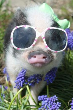 ♡pigs-- this little piggy went to town dressed to the nines. Baby Pigs, Pet Pigs, This Little Piggy, Little Pigs, Baby Animals, Funny Animals, Cute Animals, Teacup Pigs, Mini Pigs
