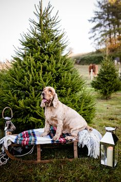Salisbury Christmas Tree Farm portrait shoot by Lydia Stamps Photography Newborn Photography, Portrait Photography, Christmas Tree Farm, Salisbury, Somerset, Labrador Retriever, Stamps, Gallery, Dogs