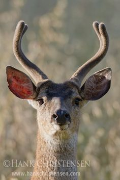 Pacific Black-tailed Deer by Hank Christensen, via Flickr