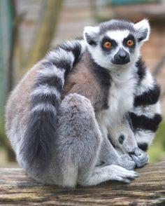 Ring-Tailed Lemur - Taken at Paradise Wildlife Park, Broxbourne