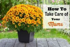 How To Take Care of Your Mums - If you've got a new bunch of mums and you want to make sure they can grow well and look their best, then you'll like these tips on How to Take Care of Your Mums (Indoors and Out)!
