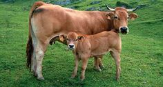 The milk from Asturias is well known in all of Spain