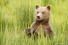 Brown Bear, Wildlife, Bear Cub, Nature Photography