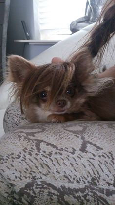 Chihuahua wig