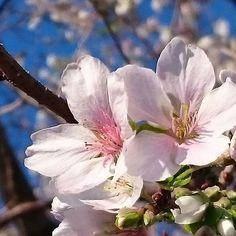 【yama387219】さんのInstagramをピンしています。 《散歩道に咲いていた四季桜。  ひっそり咲いているの桜も魅力的。  今日は、どんな月曜日になるのだう?  #桜#さくら#sakura#loves_united_flora #loves_united_flowers #loves_garden #Japan_daytime_view #rainbow_petals_#bns_lite #bns_flowers#bns_garden#ip__blossoms #ig_flowers #igscflowers #9vaga_flowersart9 #9vaga_flowerscolor9 #great_flowers#kings_flora #9vaga9#eyecatching_pics#nature_special_#natura_friends#写真好きな人と繋がりたい》