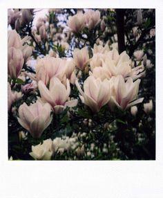 polaroid - flowers magnolia tree<3