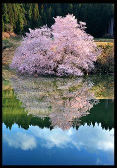 沼ノ平「鏡桜」   旅*東北 − 東北観光ポータル 4/15-4/30