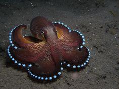 Кокосовый осьминог - Сoconut octopus - Amphioctopus marginatus.