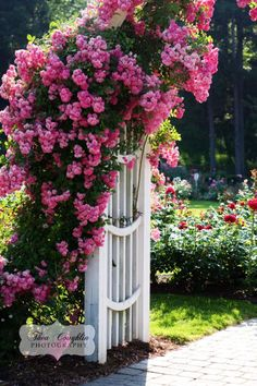 Trellis loaded with climbing roses.