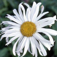 LEUCANTHEMUM 'Beauraing' (Marguerite d'été) : Les variétés sont souvent des améliorations à grandes fleurs blanches, d'apparence variées, parfois doubles. Donnent d'excellentes fleurs à couper et les simples sont idéales en prairies fleuries ou jardins naturels. Ligules arrondies, fleurs simples.