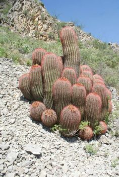 Gorgeous colony of Ferocactus pilosus (var. pringlei), southern Mexican State of Coahuila, Chihuahuan desert.