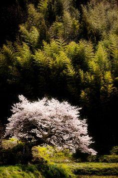 Miharu Sakura Japan