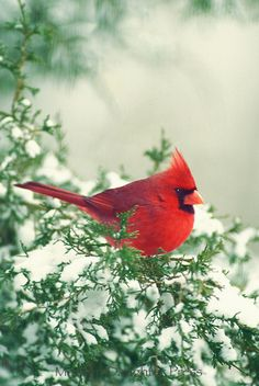 Snow Cardinal - I just love cardinals. They are so cheery and bright, and look so great on a pine with snow.