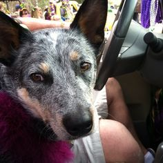 Blue Heelers Gotta Love Em :)reminds me of my Benzigirl