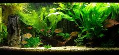 aquascaping for guppys - Google Search