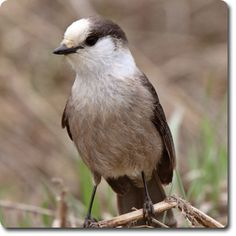Gray Jay – Learn All About the #Bird o' the Day – Backyard #WildBird Directory –