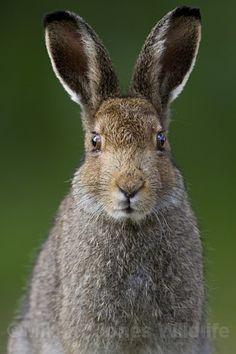 Isle of Mull Brown Hare