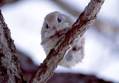 The pteromys momonga is a Japanese dwarf flying squirrel, weighing between 150 and 220 grams. And wouldn& you know, it& rather adorable. Nocturnal Animals, Animals And Pets, Baby Animals, Funny Animals, Cute Animals, Wild Animals, Japanese Dwarf Flying Squirrel, Amazing Animal Pictures, Most Beautiful Animals