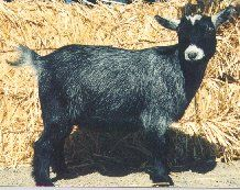 This website has some amazing goat information compiled.